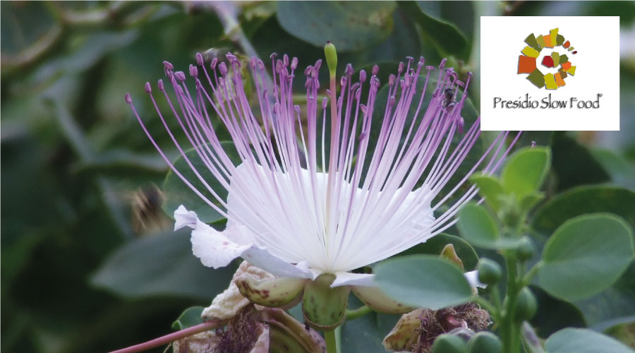 The flower of the caper of Salina - Slow Food